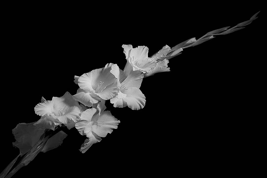 Black And White Gladioli