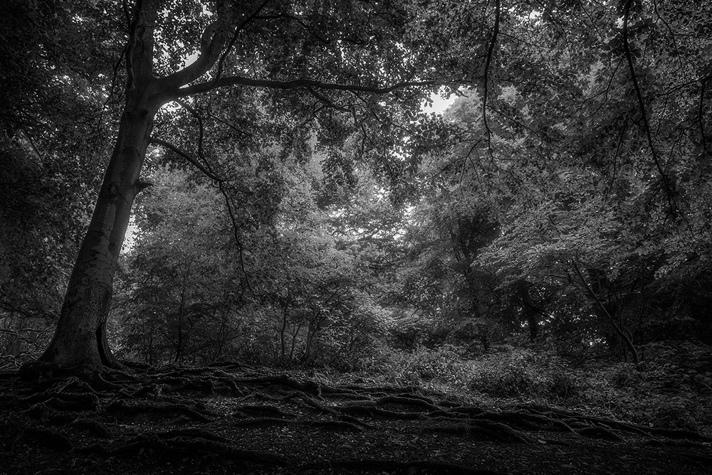 Ridge Hill Woods in Black and White.