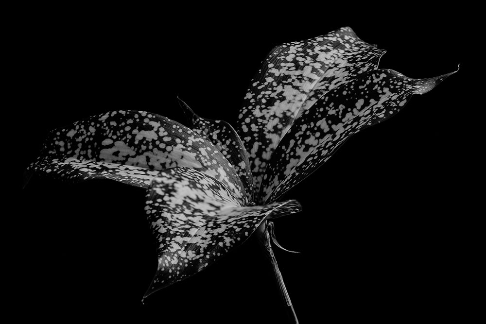 Variegated Leaf Black and White
