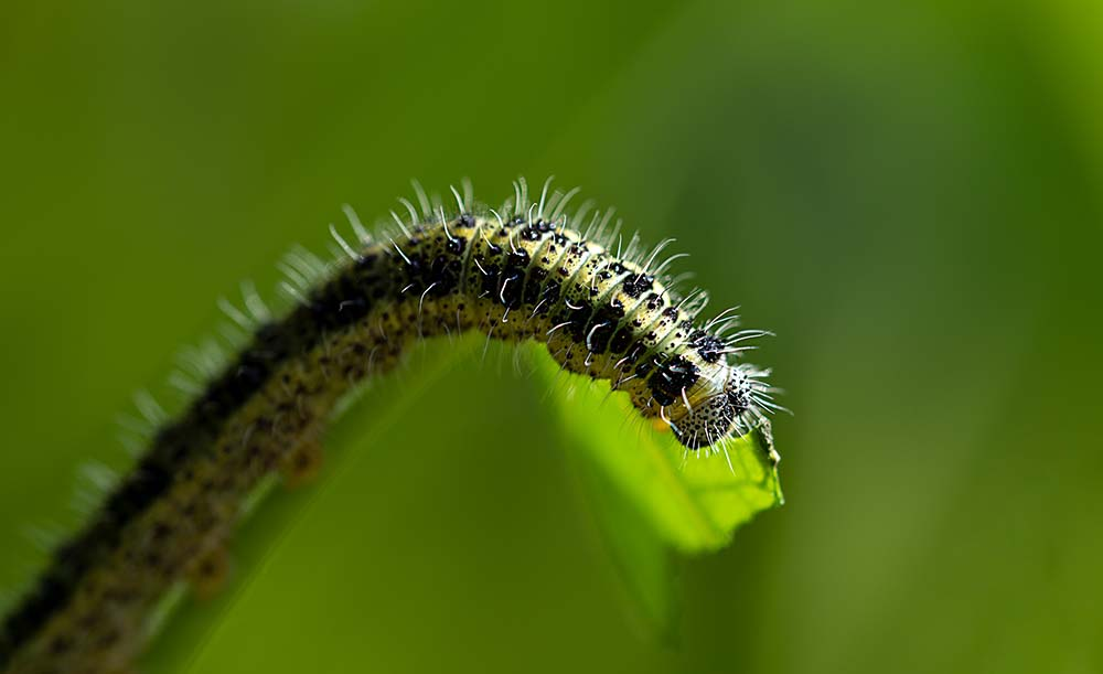 Cabbage caterpillar.