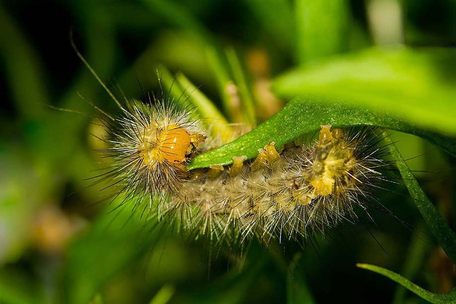 Diaphora Mendica Caterpillar