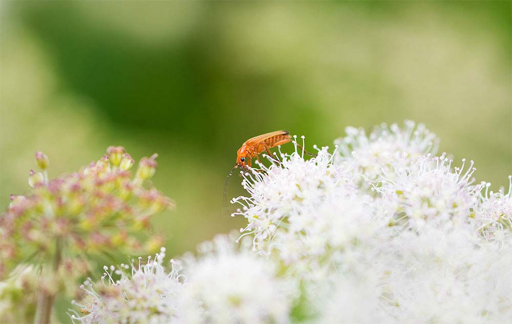 Common red soldier beetle.