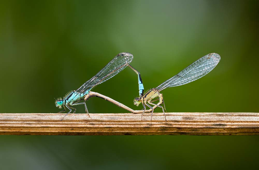 Damselflies Mating.