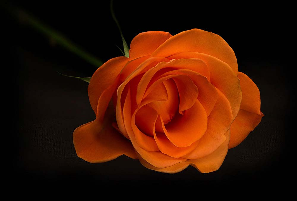 Orange Rose on black.