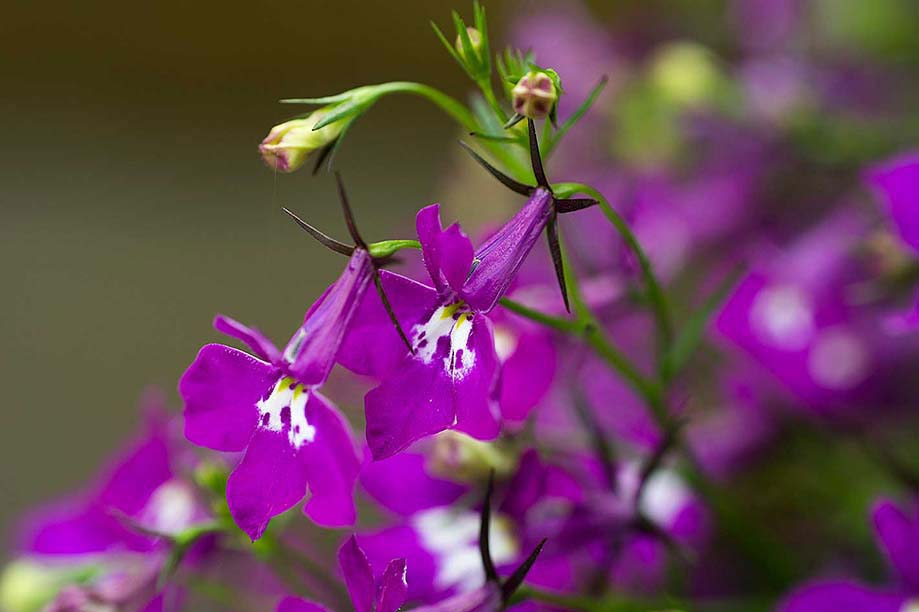 Trailing Lobelia Flower