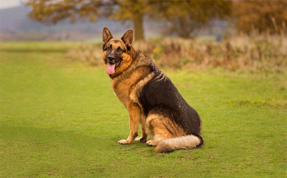 Black and Tan German Shepherd (Zak)