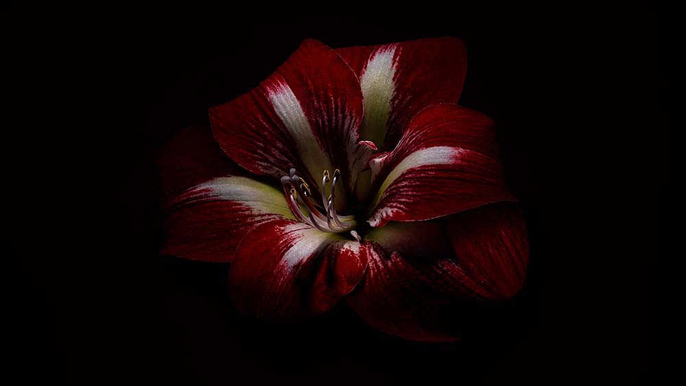 Amaryllis Naughty Girl.