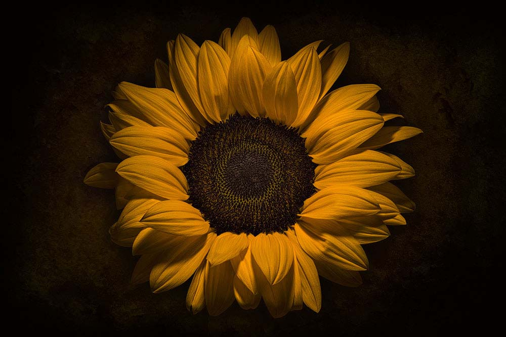 Helianthus flower on Black..