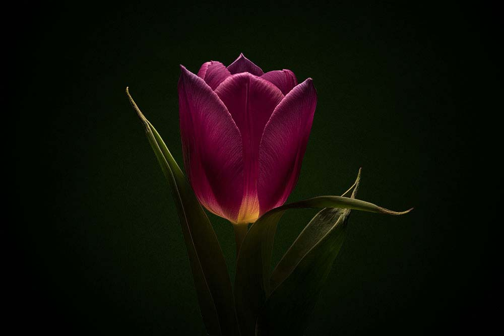 Tulip Purple Prince flower on Black.