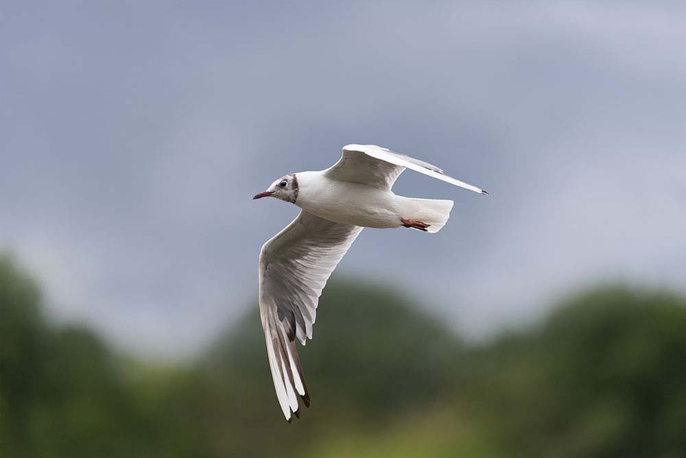 Black headed gull in flight.