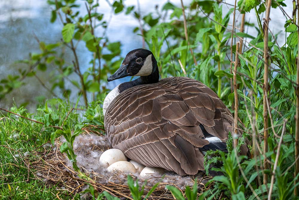 Canadian goose mother sitting eggs.