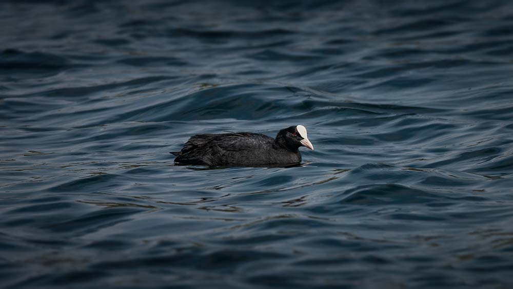 Coot on the water..
