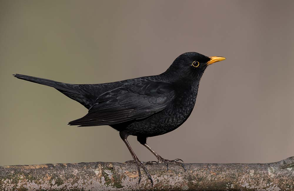 Male Blackbird.
