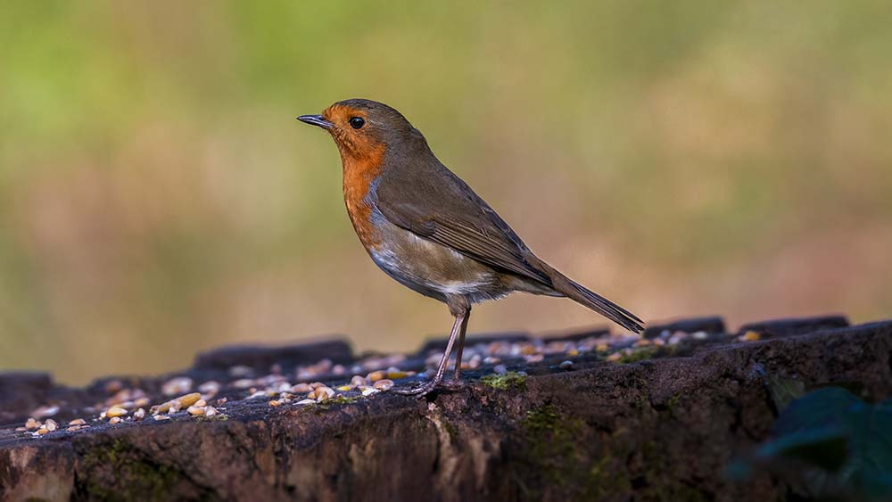 Robin at the Saltwells Local Nature Reserve.