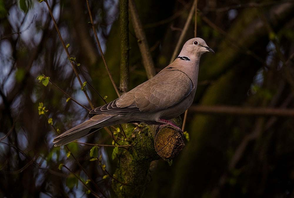 The Collared Dove.