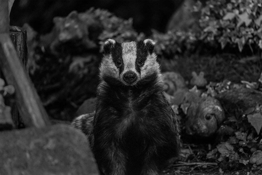 Urban wild badger (Bobby) in black and white.