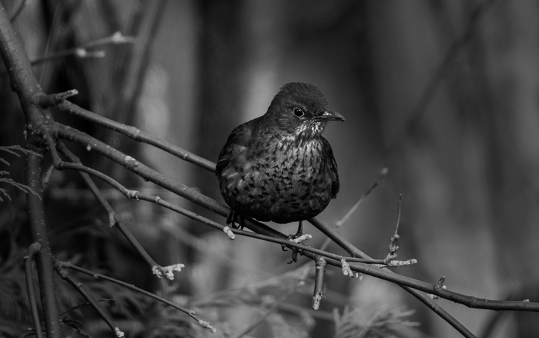 Female Blackbird in Black and White.