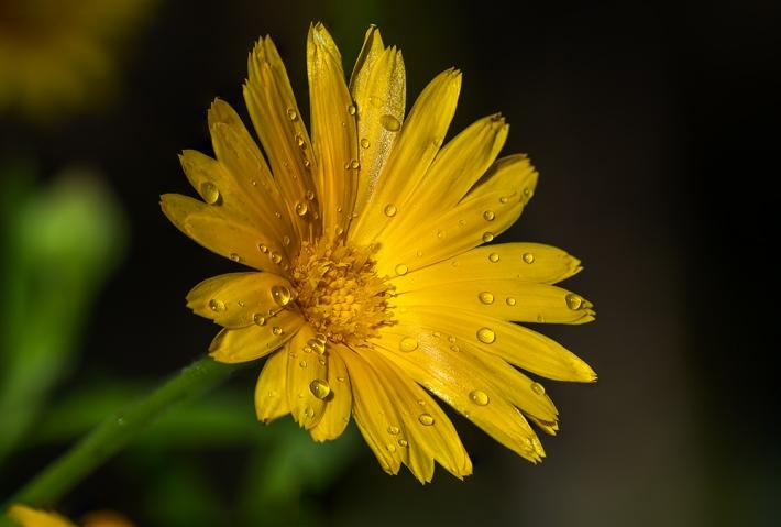 Marigold and Rain Drops._1