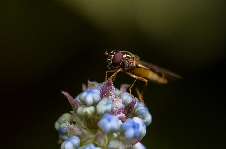 Syrphid fly.