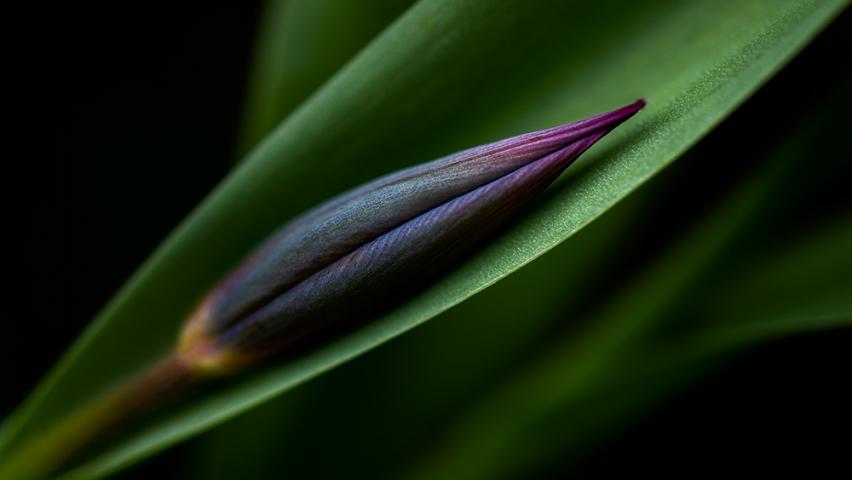 Tulip in the light.