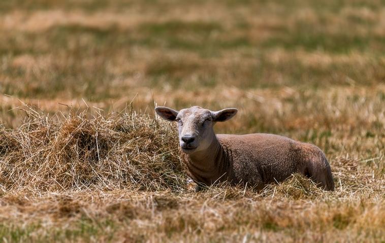 Sheep in the sun.