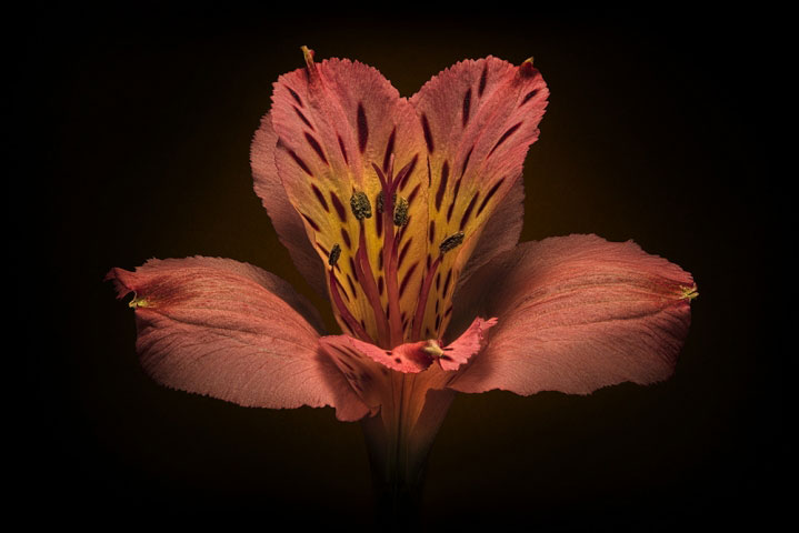 Alstroemeria flower on Black.