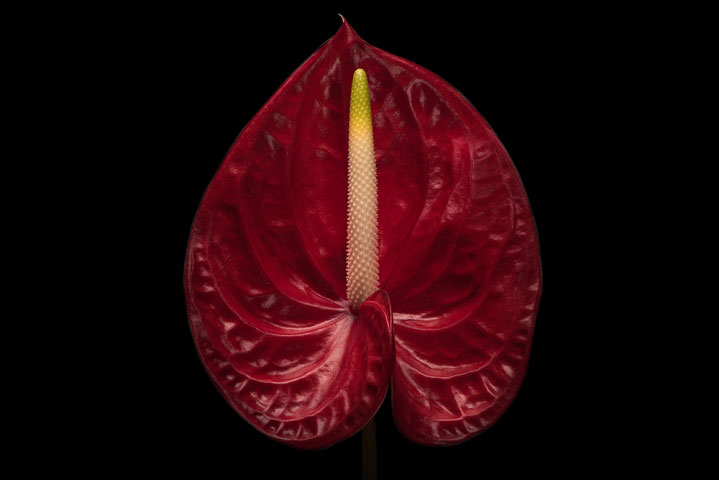 Anthurium Red On Black.