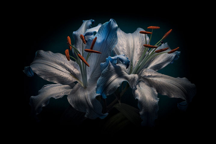Blue Lilium flower on Black.