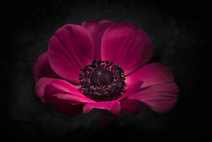 Fuchsia anemone flower on Black..