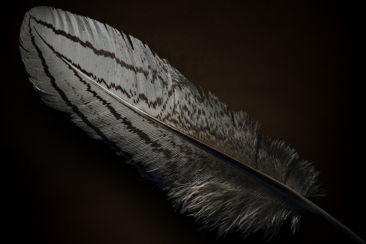 Pheasant Rooster Feather.