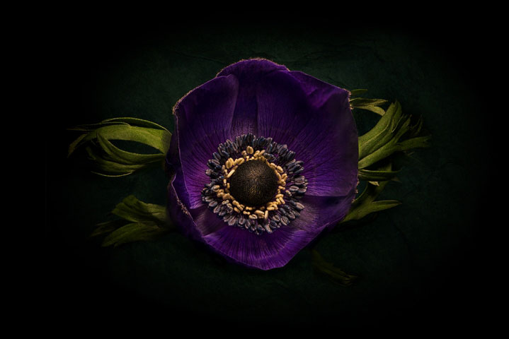 Purple anemone flower on Black..