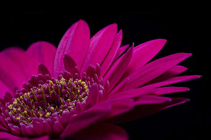 Purple Gerbera Daisy Flower