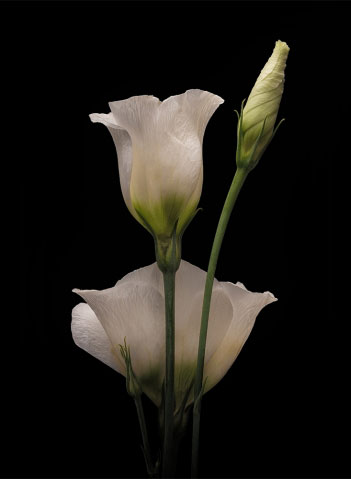 White Lisianthus on Black.