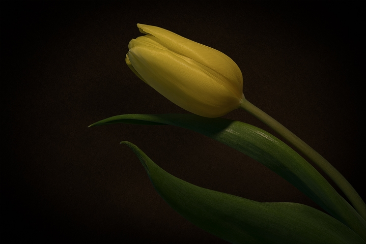 Yellow tulip.