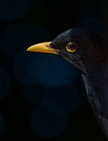 Blackbird in shadow.