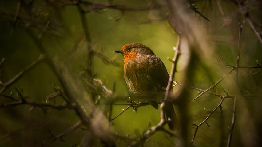 European Robin Saltwells Nature Reserve II..
