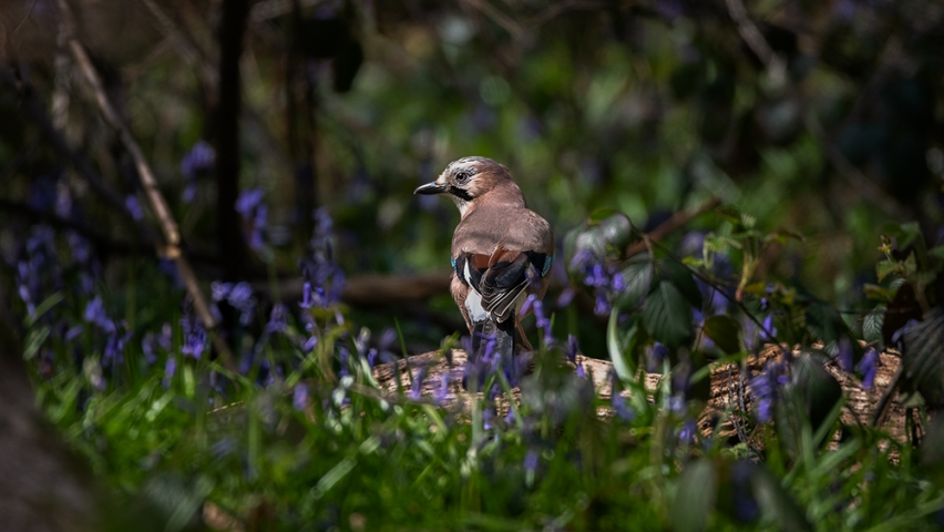 Jay amongst the bluebells.
