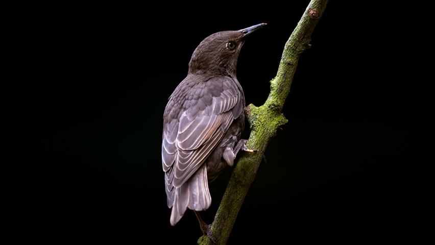 Juvenile Starling..