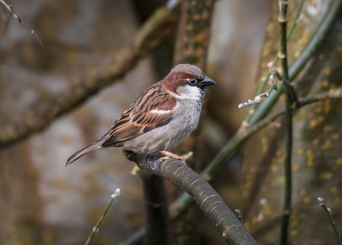 Male House Sparrow.