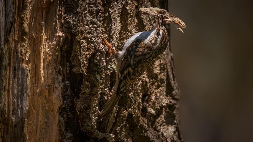 Treecreeper Saltwels Nature Reserve.