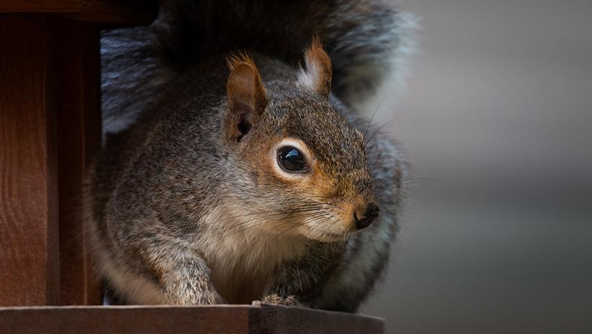 Urban Grey Squirrel.