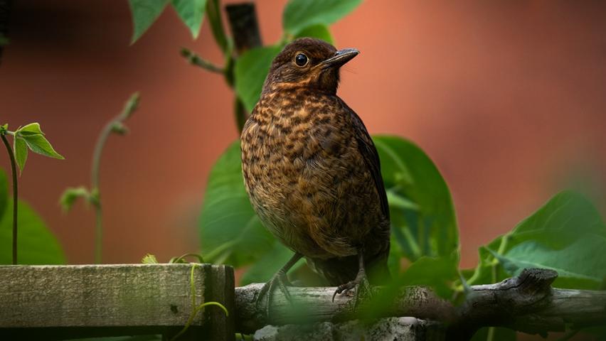 Urban Juvenile Blackbird.